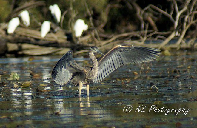 Great Blue Heron Cambridge, Ontario Canada