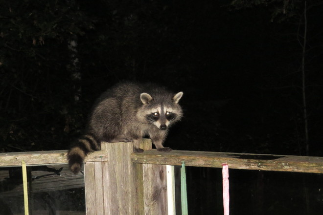 Night Time Visitor Chester, Nova Scotia Canada