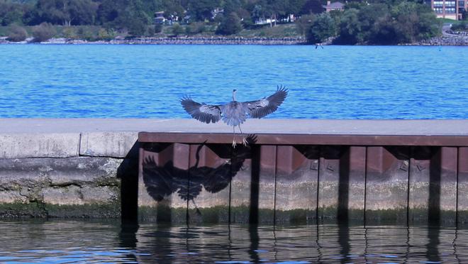 Gray Heron in FLIGHT Port Dalhousie, Ontario Canada