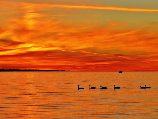Canada Geese cruising on Lake Nipissing. North Bay, Ontario Canada