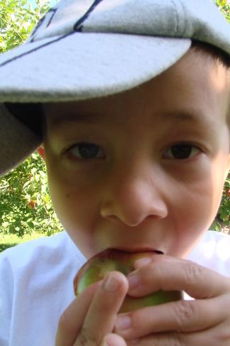 Apple Picking at MacKay Orchard Kingston, New Brunswick Canada