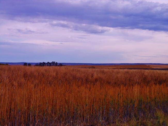 Golden Wheat Assiniboia, Saskatchewan Canada