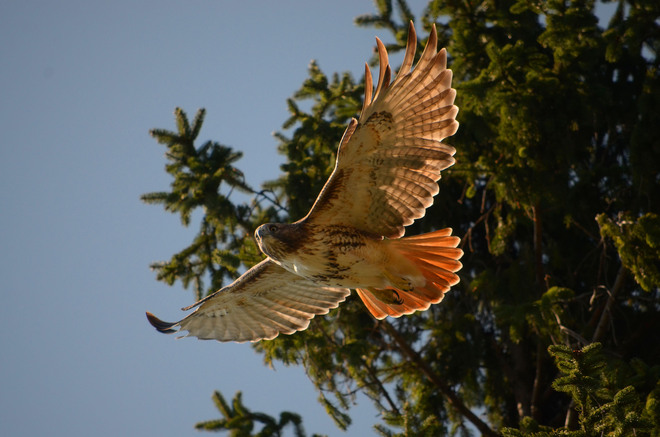 Red Tailed hawk Flight Scarborough, Ontario Canada