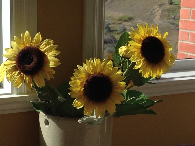 Year round sun flowers...... Desert Blume, Alberta Canada