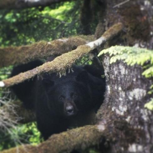momma bear Holberg, British Columbia Canada