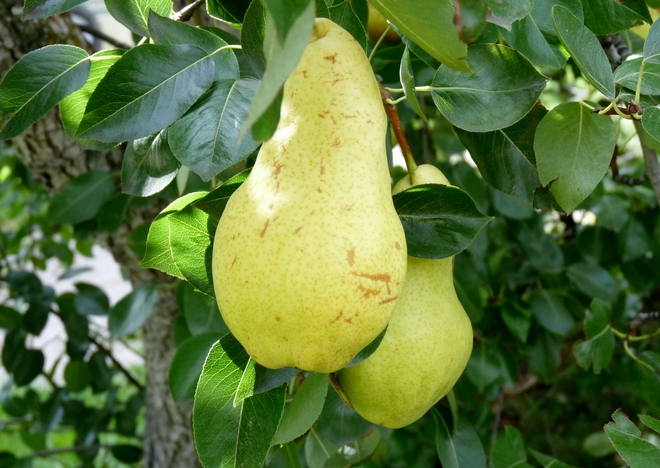 awsome pears Summerland, British Columbia Canada