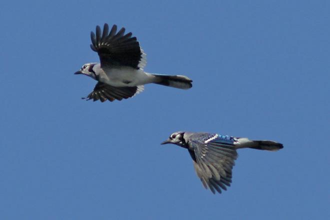 Blue Jay migration is underway Ingleside, Ontario Canada