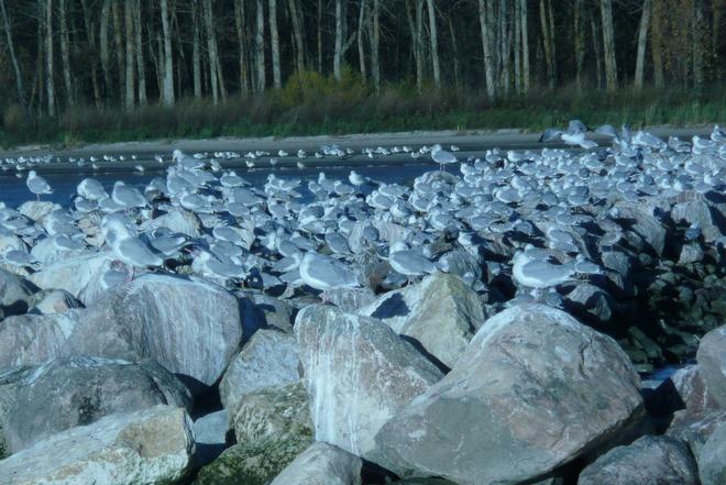Sea Gulls Gimli, Manitoba Canada