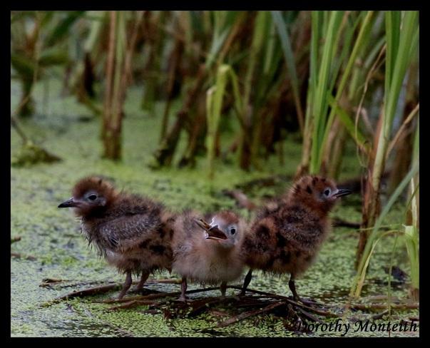 Three Little Terns Wetaskiwin County No. 10, Alberta Canada