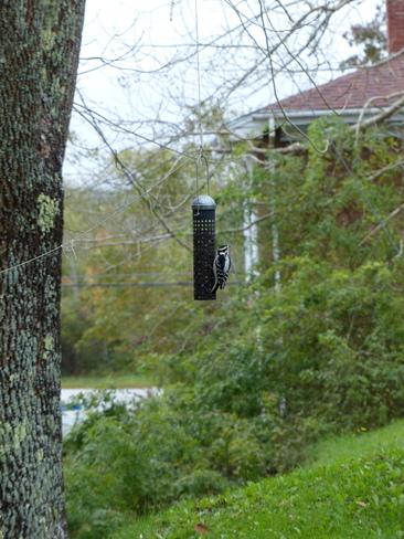 Woodpecker Shelburne, Nova Scotia Canada