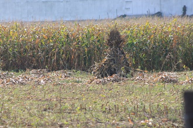 Corn Stalks Staked London, Ontario Canada