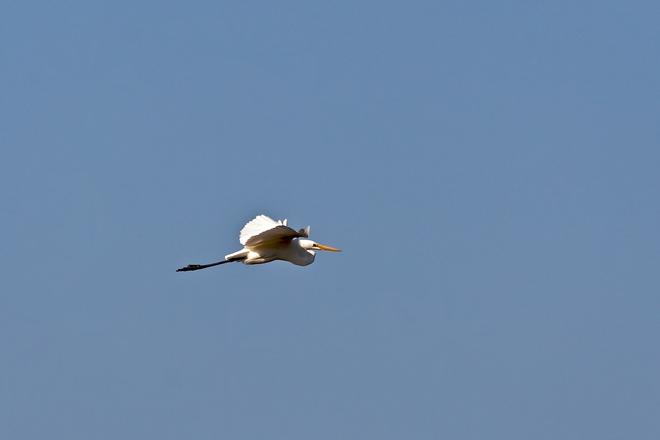Great Egret in Flight Port Credit, Ontario Canada