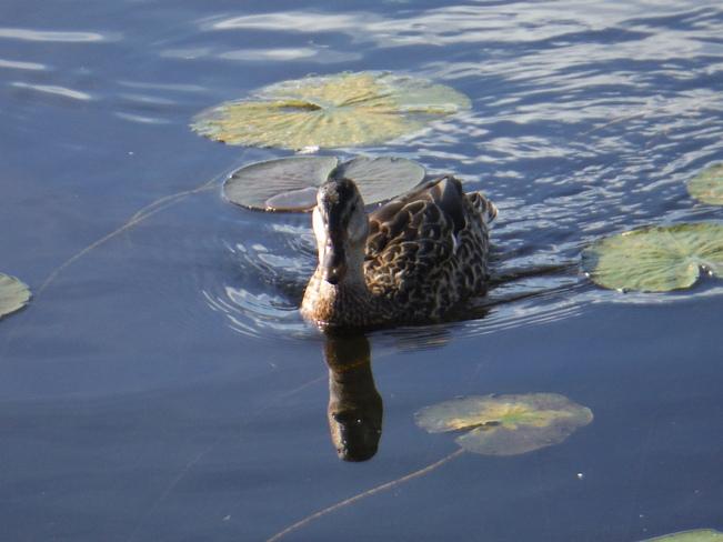 A very friendly duck Kenora, Ontario Canada