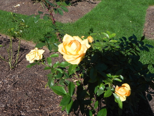 roses 2 Oakville, Ontario Canada