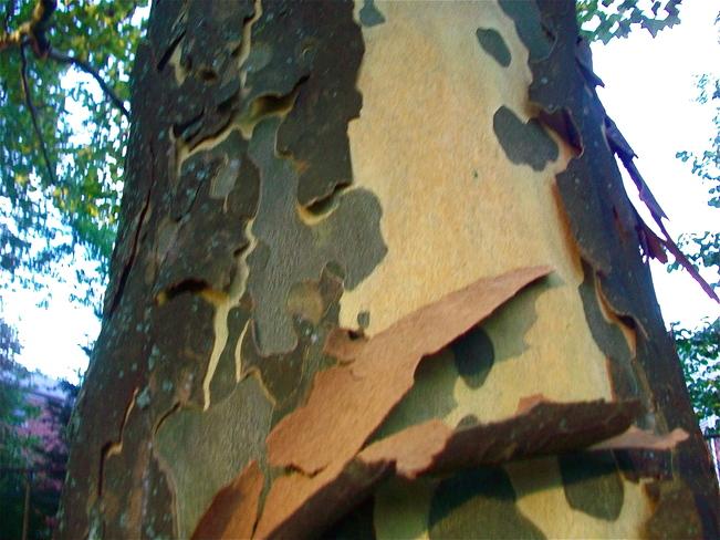 pealing bark tree Toronto, Ontario Canada