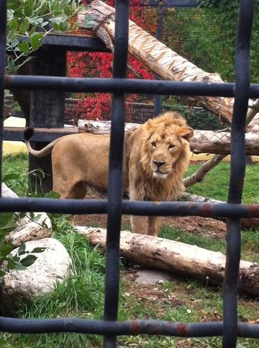 Lion Winnipeg, Manitoba Canada