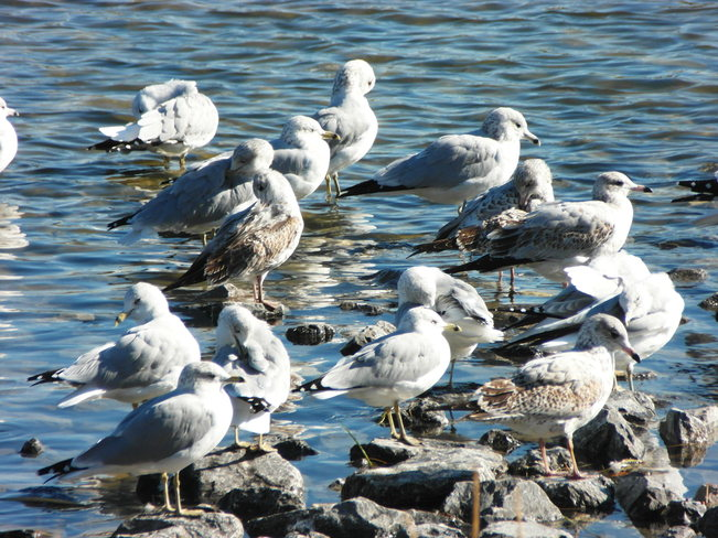 Seaguls enjoying the last of the heat.Evanston lake. Calgary, Alberta Canada