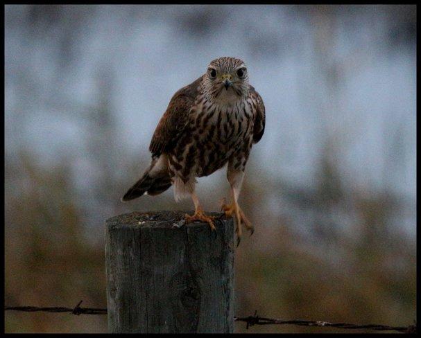 Falcon Wetaskiwin County No. 10, Alberta Canada