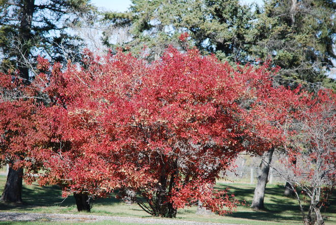 Red Trees Brandon, Manitoba Canada