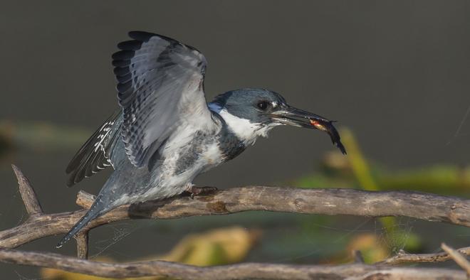Kingfisher Grand Forks, British Columbia Canada