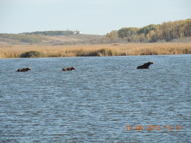 three moose swimming Broadview, Saskatchewan Canada