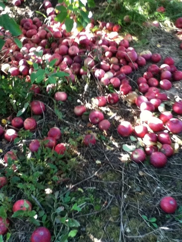 apples Montréal, Quebec Canada