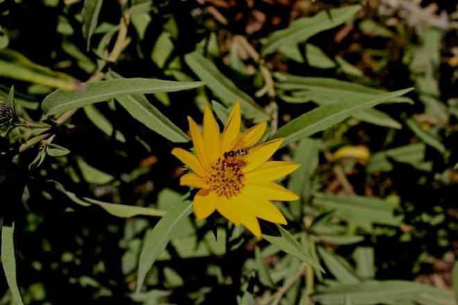 bee and the flower East Kildonan - Transcona, Manitoba Canada