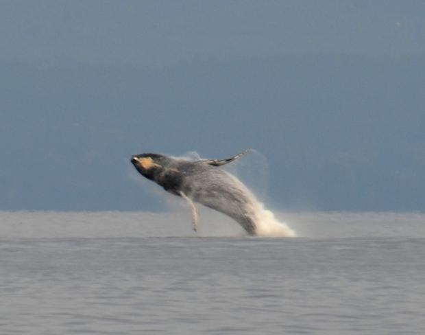 Humpback Whale Comox, British Columbia Canada
