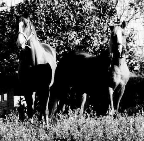 Horses Kitchener, Ontario Canada