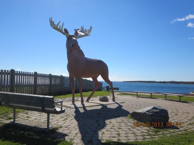 Moose delight Eastern Passage, Nova Scotia Canada