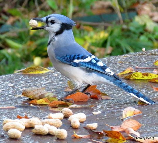 Pretty bluejay Kitchener, Ontario Canada