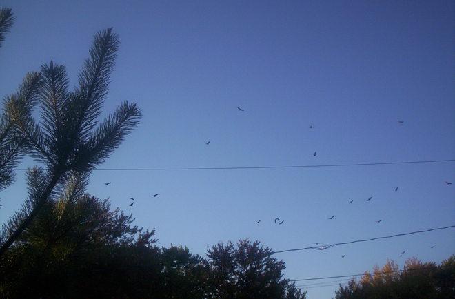 Hawks overhead Essex, Ontario Canada