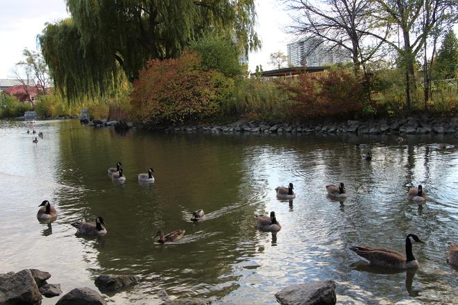 Canadian Gooses Brampton, Ontario Canada
