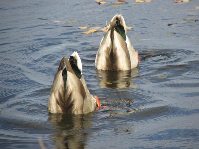 Mallards Bottoms Up Sackville, New Brunswick Canada