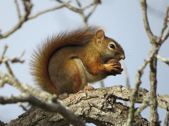 Red Squirrel Hastings, Ontario Canada