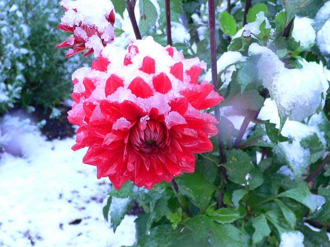 Snow on Dahlias Huntsville, Ontario Canada