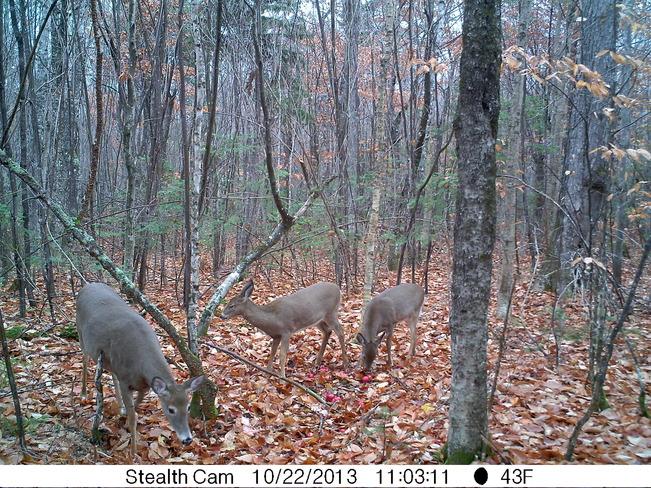 Deer caught on spy cam Miramichi, New Brunswick Canada