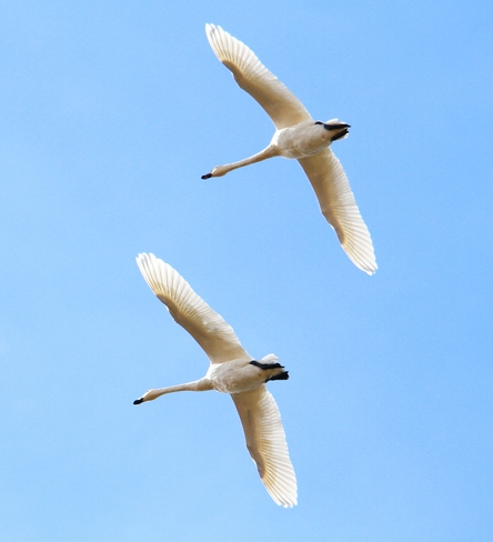 swans Brooks, Alberta Canada