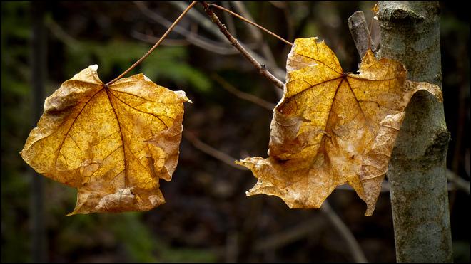 Sherriff Creek red trail, two dead leaves. Elliot Lake, Ontario Canada