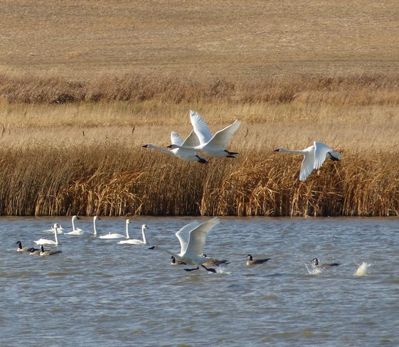Swans Kindersley, Saskatchewan Canada