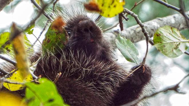 Porcupine grabbing a Leaf Smiths Falls, Ontario Canada