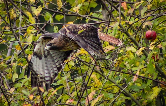Hawk in Flight Mission, British Columbia Canada