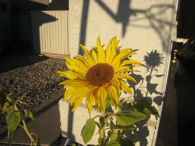 Last hurrah for this sunflower Saskatoon, Saskatchewan Canada