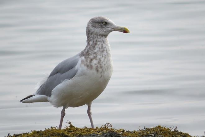 Herring Gull Adult nonbreeding Chester, Nova Scotia Canada