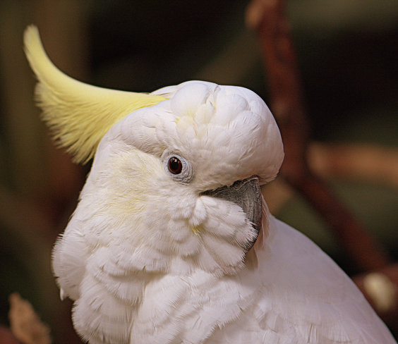 Sulphur-crested Cockatoo Vancouver, British Columbia Canada