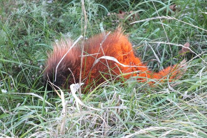 orange porcupine Sainte-Anne-de-Kent, New Brunswick Canada