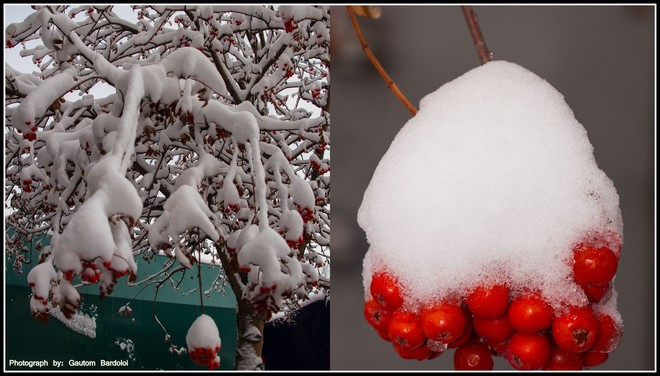 Wild red berries in Snow! Edmonton, Alberta Canada