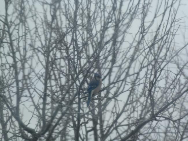 Blue Jay sitting in a tree Oxdrift, Ontario Canada