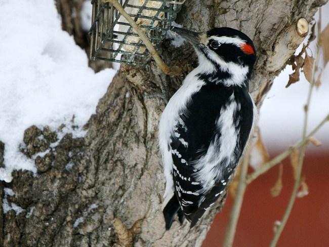 Downy Woodpecker Bonnyville, Alberta Canada