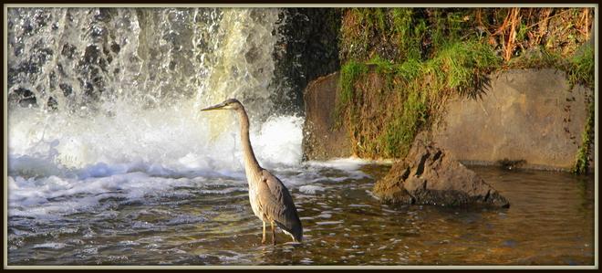 Blue Heron Port Dover, Ontario Canada